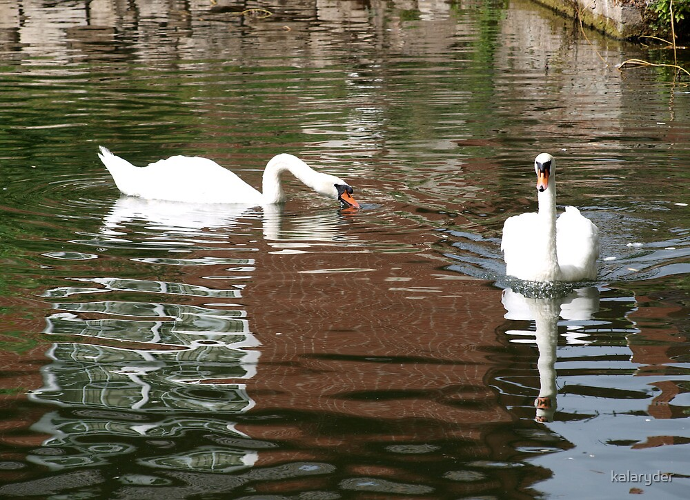 Swans in Holywell by kalaryder