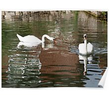 Swans in Holywell Poster