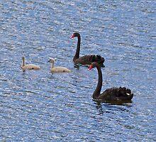 Black Swan by tasmanianartist