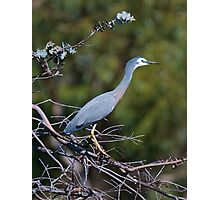 White-faced Heron Photographic Print