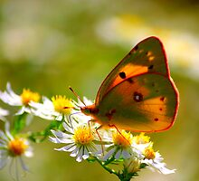Yellow butterfly on White Daisy by Brent McMurry