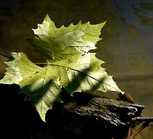 Floating leaf by Amy Herrfurth