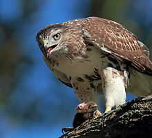 Red Tail Hawk with prey by Rob Lavoie