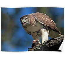 Red Tail Hawk with prey Poster