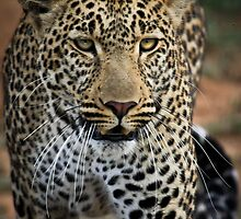 Leopard by Jill Fisher
