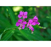 Lavender Fireweed  Photographic Print