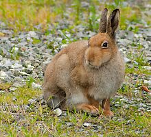 Irish Hare, Dublin Airport, Ireland by Andrew Jones