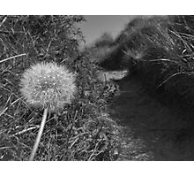 Dandelion path Photographic Print