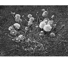 Dandelions stomped Photographic Print