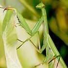 Praying Mantis - Designer iPhone cover by Renee Dawson