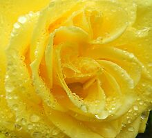 Rain on my yellow rose! by weecritter