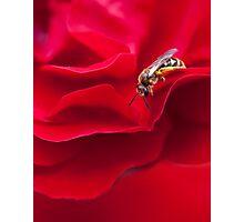 Rose Explorer Photographic Print