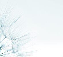 dandelion detail against white background by wildrain