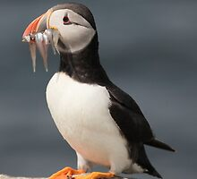 Puffin and sand eels by Miriama