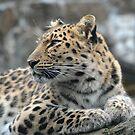 Amur Leopard by Dorothy Thomson