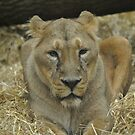 Asian Lioness. by Dorothy Thomson