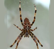 iPhone Case - Spider by Orla Cahill Photography