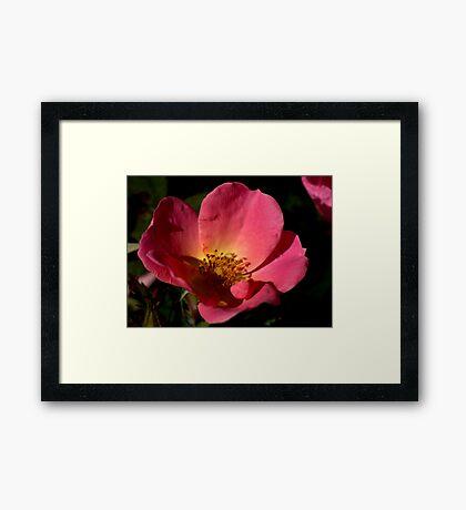 Knockout Rainbow Rose Framed Print