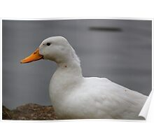 Domestic Duck Poster