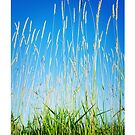 Tall Grasses Blue Sky by Tim McGuire