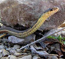Garter Snake by Veronica Schultz