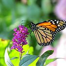 Monarch on Purple Flowers by Veronica Schultz