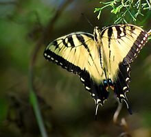 Eastern Tiger Swallowtail by Bron Praslicka
