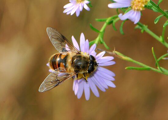 light purple daisy and hoverfly by davvi