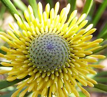 Flower Head of  'ISOPOGON' Australian Native plant. by Rita Blom