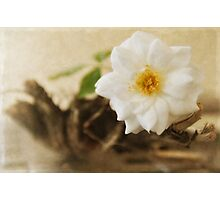 Petite Tree Rose on Driftwood Photographic Print