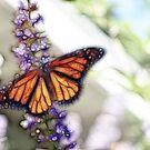 Butterfly Silk by Kay  G Larsen