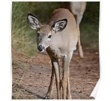 Curious white-tailed deer Poster