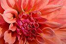 The Orange Dahlia by Adam Bykowski