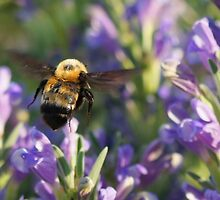 BUMBLE BEE IN FLIGHT by Betsy  Seeton