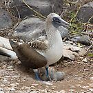 Galapagos Islands: Blue-footed Booby with Baby by tpfmiller