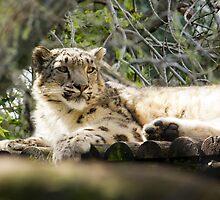 Snow Leopard  by Sandra Chung