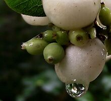 Common Snowberry by SophiaDeLuna
