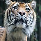 Tiger Security - IPhone case by Kelly Robinson