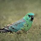 Red-rumped Parrot by Kerryn Ryan, Mosaic Avenues