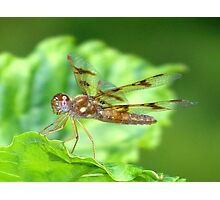 Old Amberwing Photo Photographic Print