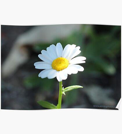 Chrysanthemum Leusanthemum Poster