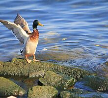 Male Mallard Duck.. by NewfieKeith