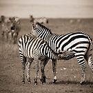 Suckling Zebra by Jill Fisher