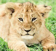 Kittenish Cub by Jill Fisher