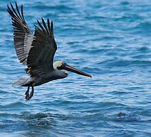 Brown Pelican in flight over water, Galapagos archipelago by Sami Sarkis