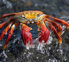 Sally Lightfoot Crab (Grapsus grapsus), in water by Sami Sarkis