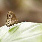 Owl Butterfly by Grant Glendinning
