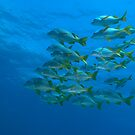 School of Yellowtail grunt (Anisotremus interruptus), underwater view by Sami Sarkis