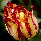 Spring Has Sprung - Flames of Fire by Sally Haldane