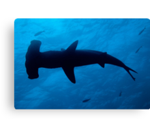 Scalloped Hammerhead shark (Sphyrna lewini), underwater view Canvas Print